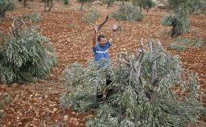 Le village de Qusra victime de l'agression des colons israéliens la nuit du 31 décembre Olivier-coupé-par-colons-Qusra-septembre-2011-300x185