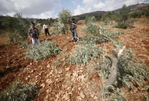 Vivre sous l'Occupation (7) Entretien avec Loy'i Al Sa'adi dans colonisation Photo-oliviers-casses-septembre-2011-300x203