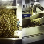 Après le déchargement du véhicule qui apporte les olives au pressoir, elles sont pesées. Elles passent ensuite par des laveuses avant d'être égouttées.