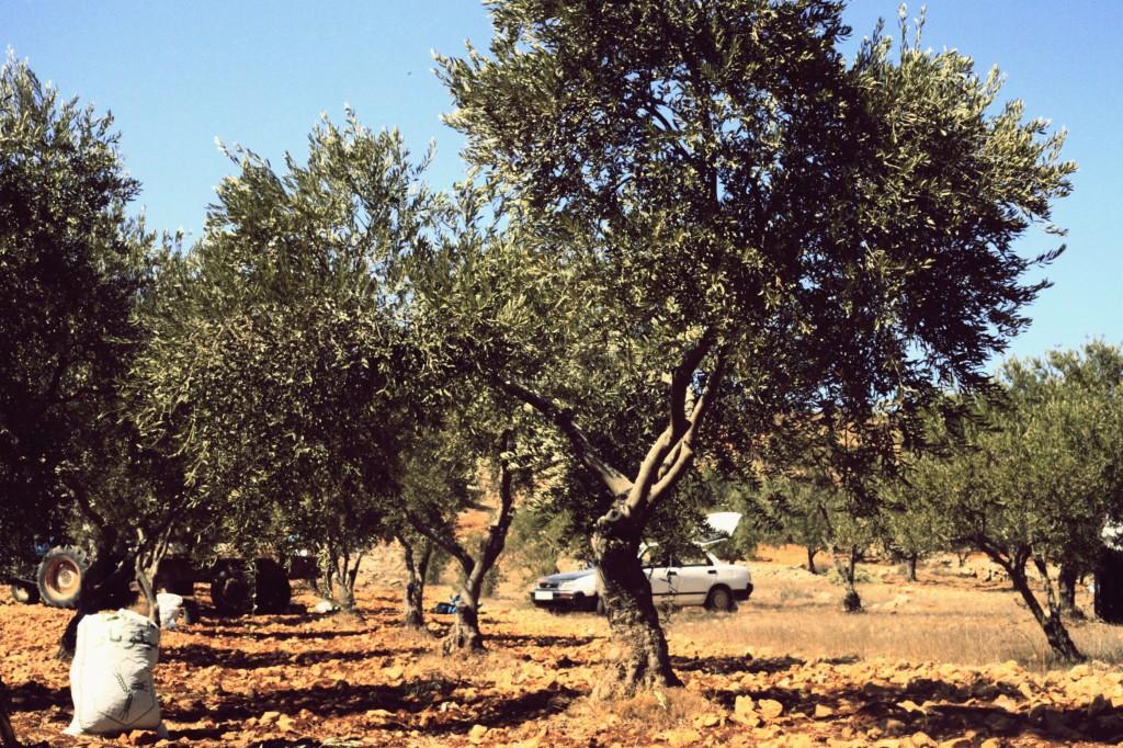Qusra, récolte des olives 2013: c'est parti ! dans Edito mg_3438