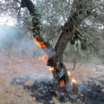 Photo ALN prise le 26/10/2013 à 2 km de l'endroit où nous étions en train de cueillir : 40 oliviers brûlés par les colons